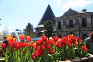 Ngắm vườn Tulip lớn nhất Việt Nam tại Bà Nà hills